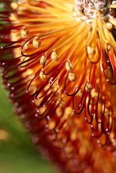 'Bokeh Banksia' by mooksool. Banksia Ericifolia 4 or 5 heads in focus fading to a soft blur (bokeh) Canon Canon Photo Macro, Micro Photography, Different Points Of View, Macro And Micro, Town Hall, Bokeh, Blur, Rain, Shape