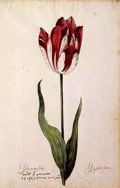 Great Tulip Book: Den Manuasier-S. Augustus Jacot,17th century    1600-1699  Gouache on paper  12-1/8 x 7-7/8 in. (30.8 x 20.0 cm)