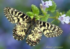 The Southern Festoon (Zerynthia polyxena) on the Creeping Charlie (Glechoma hederacea)