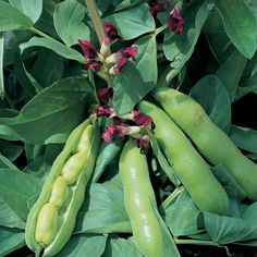 """Bean : Broad Bean : Crimson Flowered - ornamental and edible - 35"""" high, 18"""" spread, good in containers"""