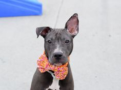TIZZY - A1079928 - Brooklyn - Publicly Adoptable TO BE DESTROYED 07/13/16 PERFECT PUPPY ALERT!!!!! Just 7 months ago a sweet puppy came into the world full of hope and promise. Now just a few short months later Tizzy finds herself in the worst possible situation! You see Tizzy finds herself in a kill shelter with only hours left to live. This beautiful sweet, AVERAGE RATED puppy with the adorable, funny ears is in a fight for her life tonight. Why? because after only a week at th