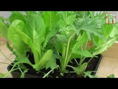 How To Grow Salad Leaves video with Thompson & Morgan.