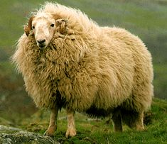 This is a Welsh Mountain Sheep...wonder if Welsh Pembroke Corgis herd these type of sheep?  They sort of look like huge fluffy Corgis.