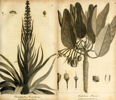 illustrations from Hortus Malabaricus (Garden of Malabar), dealing with the medicinal properties of the flora of Kerala (India)