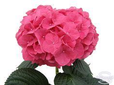 "Cut hydrangea flower ""Rodeo"" (Red) Wedding Bouquets, Wedding Flowers, Hydrangea Macrophylla, Hydrangea Flower, Rodeo, Fingers, Gardens, Fresh, Fine Art"