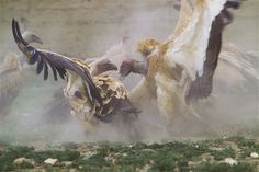 Image: Giant vultures fight over a horse carcass (© Cory Richards/National Geographic)