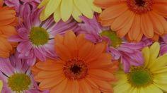 Gerbera is a genus of plants Asteraceae (daisy family). Daisy Wallpaper, Nature Wallpaper, Wallpaper Backgrounds, Phone Wallpapers, Floral Wallpapers, Beautiful Wallpaper, Wallpaper Desktop, Mobile Wallpaper, Orange Flowers