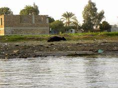 cow along the Nile shore - Luxor, Egypt