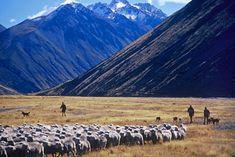 Sheep Mustering, Mackenzie Country, New Zealand