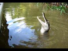 Louisiana Swamp Aligators love Hot-Dogs!