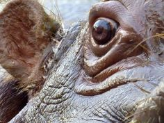 Image result for hippo eyes