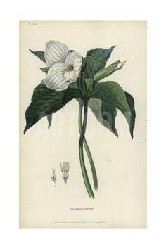Great White Trillium, Trillium Grandiflorum Giclee Print by William Clark at…