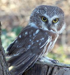 Saw-Whet Owl by faolruadh on DeviantArt Saw Whet Owl, Funny Owls, Beautiful Owl, Baby Owls, Cute Animals, Butterfly, Pottery, Deviantart, Friends
