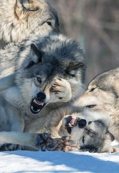 Beautiful Wolves : Timber Wolf in its Natural. Timber Wolf, Wolf Spirit, Spirit Animal, Beautiful Wolves, Animals Beautiful, Der Steppenwolf, Wolf Poses, Animals And Pets, Cute Animals