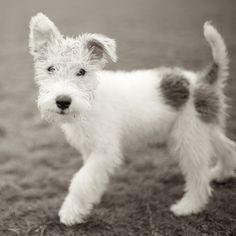 Frankie, Wire Fox Terrier, Zilker Park, Austin, TX