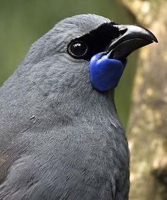fly into spotlight \The Kōkako (Callaeas cinereus) is a forest bird which is endemic to New Zealand.\The Kōkako (Callaeas cinereus) is a forest bird which is endemic to New Zealand. Pretty Birds, Love Birds, Beautiful Birds, Animals Beautiful, Cute Animals, Wild Animals, Baby Animals, Exotic Birds, Colorful Birds