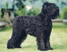 Terrier Negro Ruso http://www.mascotadomestica.com/adriestramiento-perros/terrier-negro-ruso.html