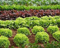 Salat im Garten anbauen