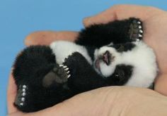BABY PANDA-Panda bears are the smallest newborn mammal, aside from marsupials, in relation to the size of the mother panda bear. Baby panda bears weigh only 3 to 5 oz., and are similar in length and width to a stick of butter.