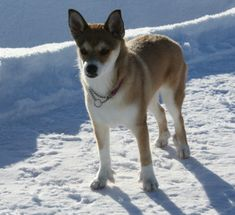 The Norwegian Lundehund is an amazing feat of nature, sporting six toes, the ability to close its ear and extreme upper body flexibility that allows it to bend its head back to its neck. Originally bred as Puffin hunter, these days, this dog is the perfect hiking buddy.