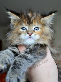 Fluffy Maine Coon kitten http://www.mainecoonguide.com/how-to-keep-a-maine-coon-growth-chart/