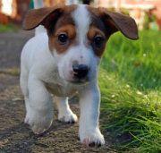 Ik heb een hondje, een jack-russel, max dit is een andere jack-russel.