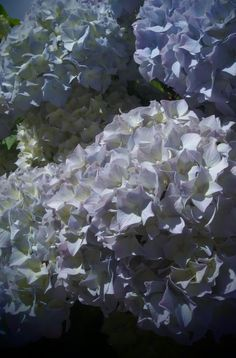 MES HORTENSIAS JUIN 2016 PHOTO ISAN