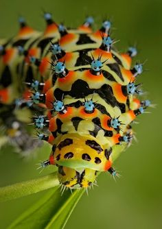 Cool Picture of Alien Insect - Insect Macro Photography - Igor Simanowicz Soon I will be a beautifull butterfly :o)