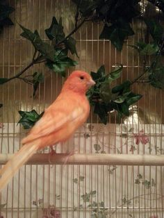 One of my Red Factor Canaries