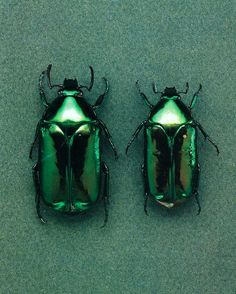 Green Shiny Beetles ....