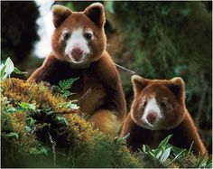 Post with 2919 views. I smile every time I see the Tree Kangaroo. Baby Animals, Cute Animals, Wild Animals, Kangaroo Baby, Bird People, Wild Dogs, Creature Feature, Funny Art, Animal Photography