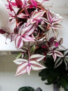 Misère Tradescantia Zebrina (3) Garden Plants, House Plants, Wandering Jew, Garden Styles, Flower Power, Planting Flowers, Greenery, Planters, Home And Garden