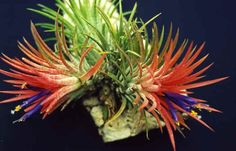 Tillandsia are a wonderful plant family that can make even the beginners indoor garden look highly cultivated and wondrous.    Google Image Result for http://tillandsias.gardenwebs.net/Tillandsia.ionantha.jpg