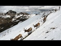 Stunning Footage: Epic Animal Migrations In Yellowstone : Video Clips From The Coolest One