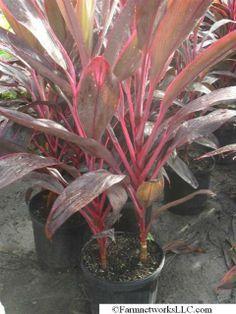 Red Sister Cordyline, plants , miami nursery, miami plants, miami palms, tree sales, plant sale