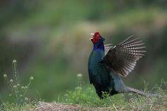 pheasant 雉