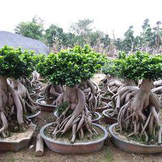 20 Ficus Microcarpa Ideas Ficus Microcarpa Ficus Plants