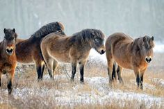 ♥ Small herd of Exmoor ponies in a snowy field near Castricum, NL horse photography Most Beautiful Animals, Beautiful Horses, Hackney Horse, Welsh Pony, Dartmoor, New Forest, Horse Photography, Horse Breeds, Wild Horses