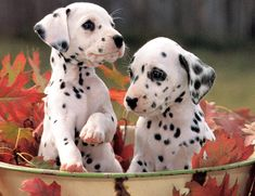picture of Dalmatian cute dogs