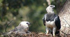 Harpia é a maior águia encontrada no Brasil e corre o risco de desaparecer