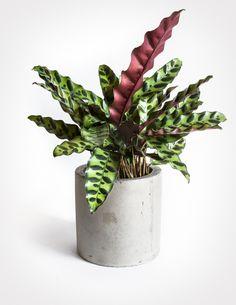 Calathea Lancifolia - Rattlesnake Plant