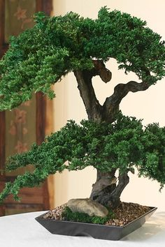 Preserved Real Double Double Monterey Bonsai by ForeverGreenArt