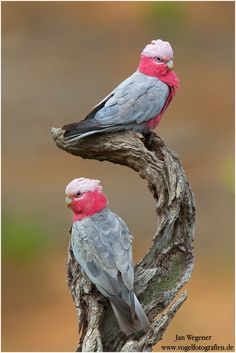 "Galah or Rose-breasted cockatoo (Eolophus roseicapilla); Or as we'd say, ""a pair of galahs"". Pretty Birds, Beautiful Birds, Animals Beautiful, Cute Animals, Kinds Of Birds, All Birds, Love Birds, Tropical Birds, Exotic Birds"