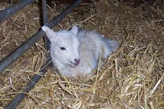 RAISING SHEEP FOR WOOL, MILK AND MEAT AT HOME | Prepared For That