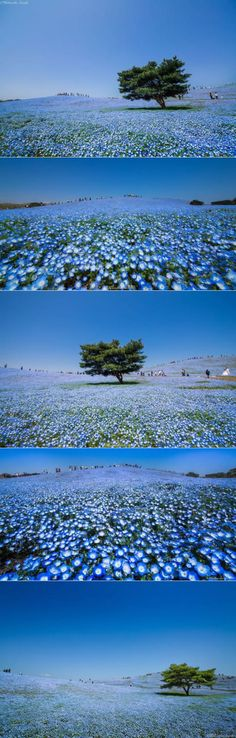 4.5 Million Baby Blue Eyes Just Bloomed In Japan's Hitachi Seaside Park (By Hidenobu Suzuki)