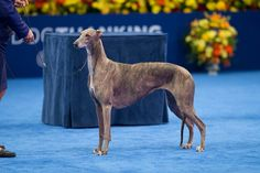 One long-legged hound took home the hardware at the National Dog Show today. Gia the Greyhound & handler, owner, & breeder, Rindi Gaudet took home the esteemed award after winning the preliminary Greyhound round, the hound group, & then the final strut around the ring for Best in Show, where Gia trotted among the likes of the tiny Pekingese, the energetic West Highland Terrier, & many others.
