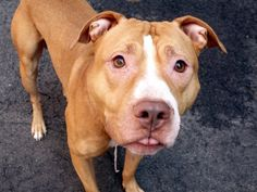 RETURNED 10/24/15 OWNER EVICT --- SAFE RTO 8-4-2015 --- TO BE DESTROYED 8/2/2015 Manhattan Center My name is TORTAS. My Animal ID # is A1045758. I am a male brown and white pit bull mix. The shelter thinks I am about 3 YEARS old. I came in the shelter as a OWNER SUR on 07/28/2015, owner surrender reason stated was NO TIME.