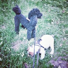 heididahlsveen:  This afternoon we walked with Chico #puddel #poddle, #atsjoo was enthusiastic, Chico was not too happy. #mixed #puppy #valp #dog #hund