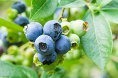 Blueberries ready to pick by Zigzag Mountain Art on Creative Market