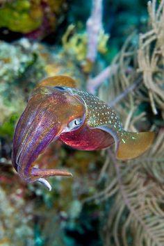 Female Squid (Eliot Ferguson) it's not a squid, it's a cuttlefish. Underwater Creatures, Underwater Life, Ocean Creatures, Fauna Marina, Life Under The Sea, Beautiful Sea Creatures, Tier Fotos, Sea And Ocean, Sea World